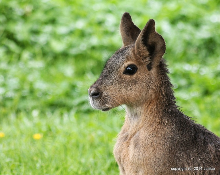 This is a Patagonian Hare (mara) at the Yorkshire Wildlife Park,s.Yorkshire, England. I think they are beautiful creatures, they seem to sit still for a very long time, perfectly motionless.